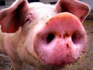 pig nose